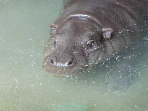 My friend the pygmy hippo. Isn't he adorable? Photo: Megra12